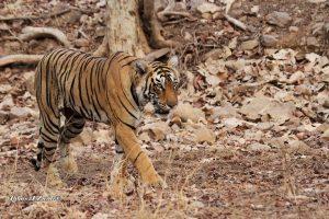 tiger-sighting-at-zone-8-in-ranthambore-national-park