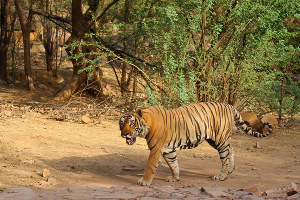 Ranthambore Tour Packages - Ranthambore with Golden Triangle Tour